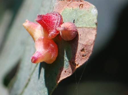Red Cone Gall Wasp galls (Andricus kingi)