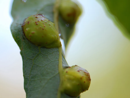 Willow Apple Gall Sawfly galls (Pontania clifornica) on Arroyo Willow